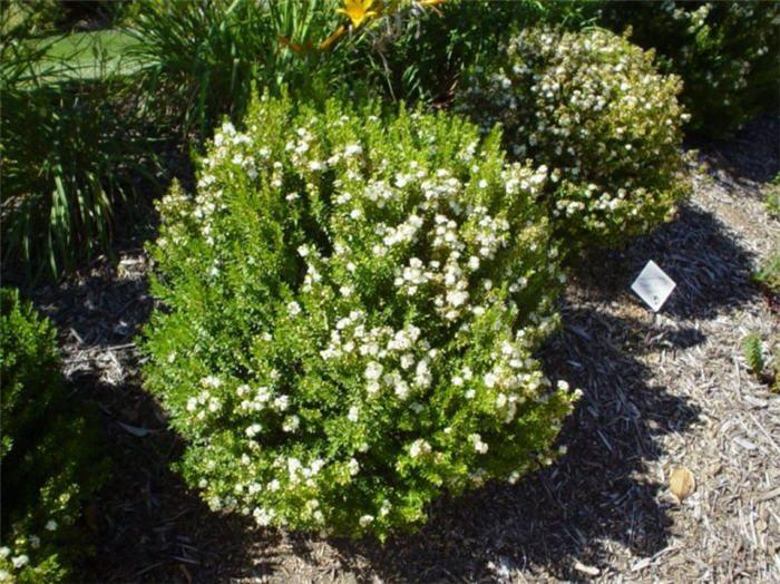 Myrtle (Myrtus Communis 'Compacta')