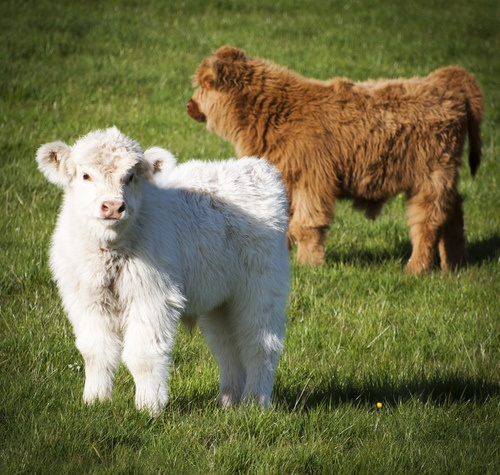 Highland Cattle Calves (by ryandean)                                                                                                                                                     More