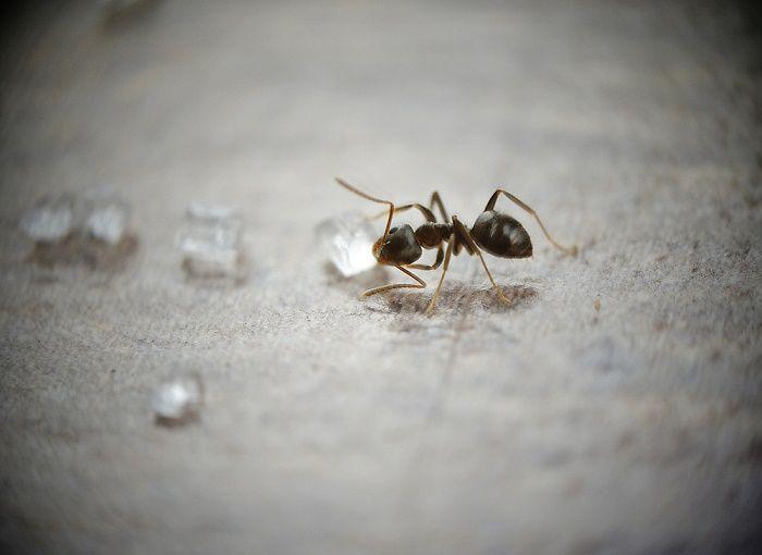 5 Repelentes naturales y económicos para hormigas