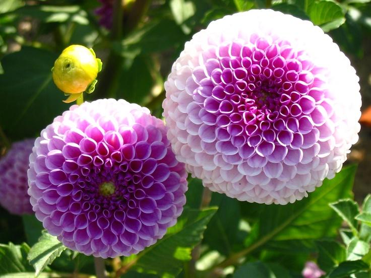 Dhalia flowers pinterest ombre for Plantas de interior fotos y nombres
