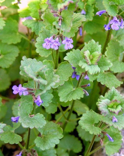 Glechoma hederacea w kuchni i medycynie naturalnej. Jak zrobić herbatę z Bluszczyku kurdybanku