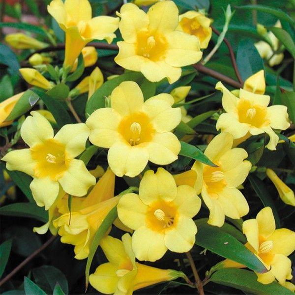 best  carolina jasmine ideas on   flowers garden, Beautiful flower