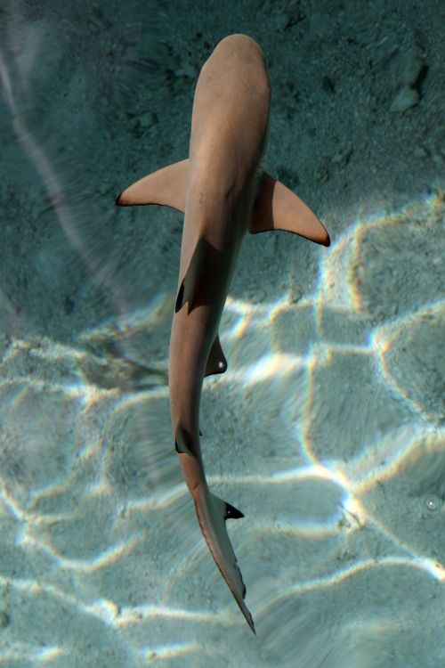 shark swimming in crystal clear water
