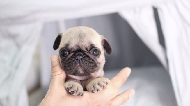 Cute Little Baby Pug Puppy Dog Small Baby Pug Dog Baby Pugs