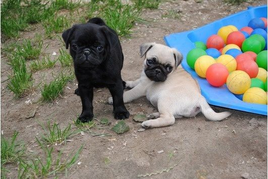 sweet black and fawn pug puppies | Puppies for Sale