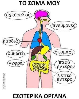 Body parts in Greek. How you pronouce it. Brain-enkéfalos, Lungs-pnév̱mones, Liver-sykó̱ti, Kidneys-nefra, Large Intestines- pacho éntero, Small Intestine-leptó éntero