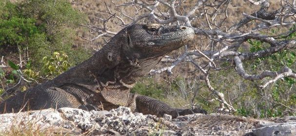 We offer Komodo Tours Island special komodo adventure, get your best deal trip and discount rate now. #komodotours #komododragontours #komodoislandtours #komodoboatcharter
