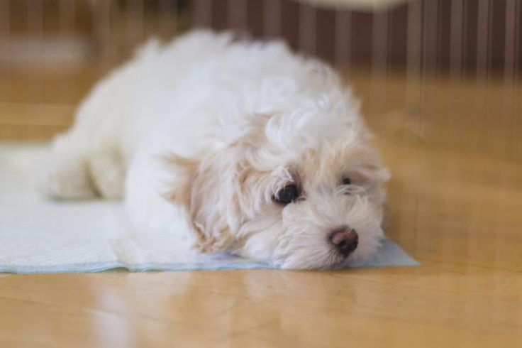 How to Use Puppy Potty Training Pads | Cuteness.com