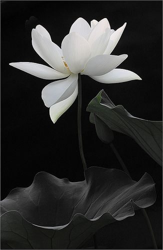 """""""The lotus is a flower that grows in the mud. The thicker and deeper the mud the more beautiful the lotus blooms.""""  V"""