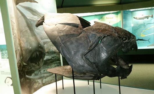A Dunkleosteus exhibit.