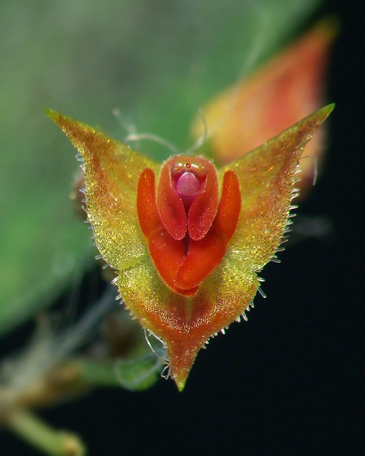 Lepanthes sp., by Daniel-CR, via Flickr