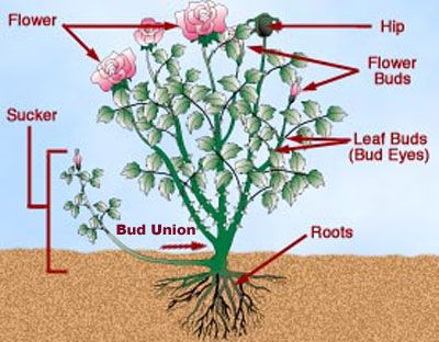 How To Prune Roses (pinned by Cottage Farms)