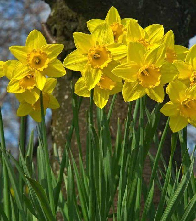 Top 25 Most Beautiful Daffodil Flowers Daffodil Flower Daffodil Gardening Daffodils