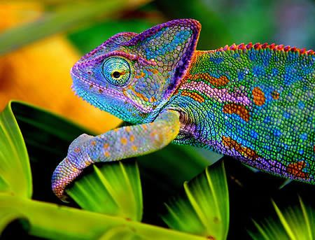 I used to have a pair of these...The veiled chameleon, Chamaeleo calyptratus, a large and colorful species of chameleon, are found in Yemen and Saudi Arabia and also sometimes referred to as the Yemen Chameleon. This chameleon changes color depending on its mood. The prominence of these markings is dependent on several factors including health, mood, and temperature of the lizard.