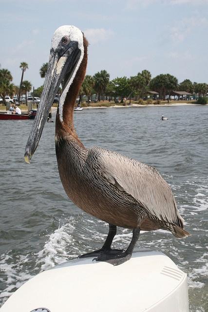 Pelican hitchhiker off of Stuart, Florida