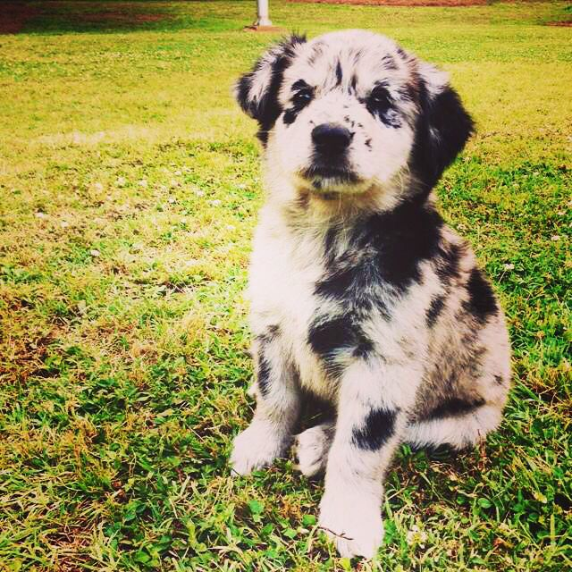 Australian Shepherd lab mix rescue
