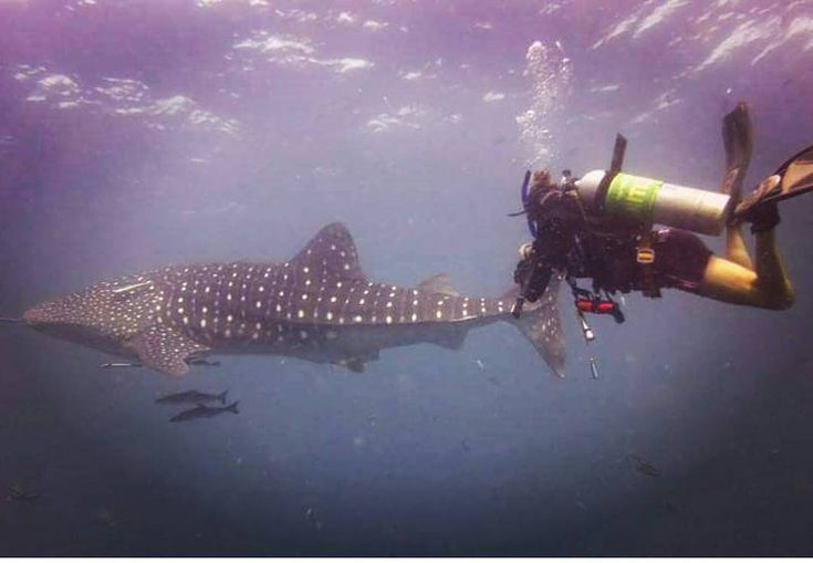 Anybody fancy swimming with these gentle giants?  Via @ema_masters  DM us for more information on scuba diving  #crystaldive #kohtao #thailand #scuba #diving #scubadiving #whaleshark #beforeidie #amazing #onceinalifetime #cool #Awesome #goodtimes #kohphangan #fullmoonparty #hangovercure #sea #asia #seasia #adventuretravel #adventure #divemaster #livethedream #scubalife #islandlife #paditv