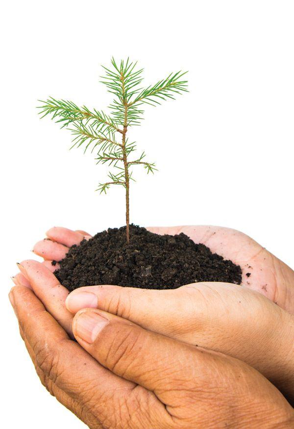 hands-holding-cedar-seedling