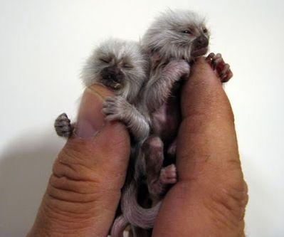 pygmi marmosettes!!!!
