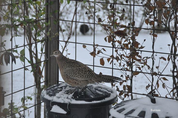 Her sjekker høna om hun kan komme til maten som vi lagrer i dunken.