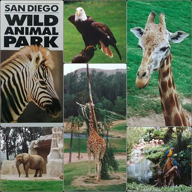 🌴🐵 San Diego Zoo Safari Park 🐘 Had a very nice time with wild animals 🐯🐻 and tame animals 🐦💑. #throwback #1992 #honeymoontrip #california #roundtrip #sandiego #lajolla #animals #animallover #zooanimals #elephant #giraffe #americaneagle #eagle #parrots #birdshow #goodlife #goodtimes 😎 #lajollalocals #sandiegoconnection #sdlocals - posted by   https://www.instagram.com/jt_cologne_63. See more post on La Jolla at http://LaJollaLocals.com