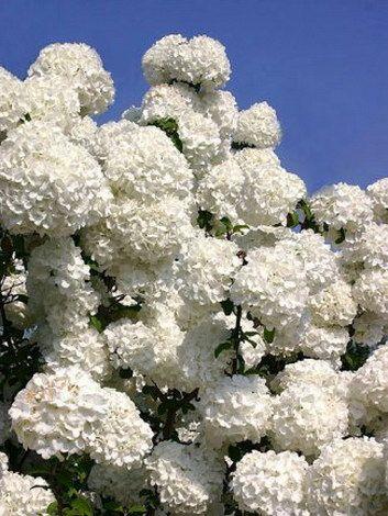 Moon garden - Snowball (European cranberry bush or Guelder rose)