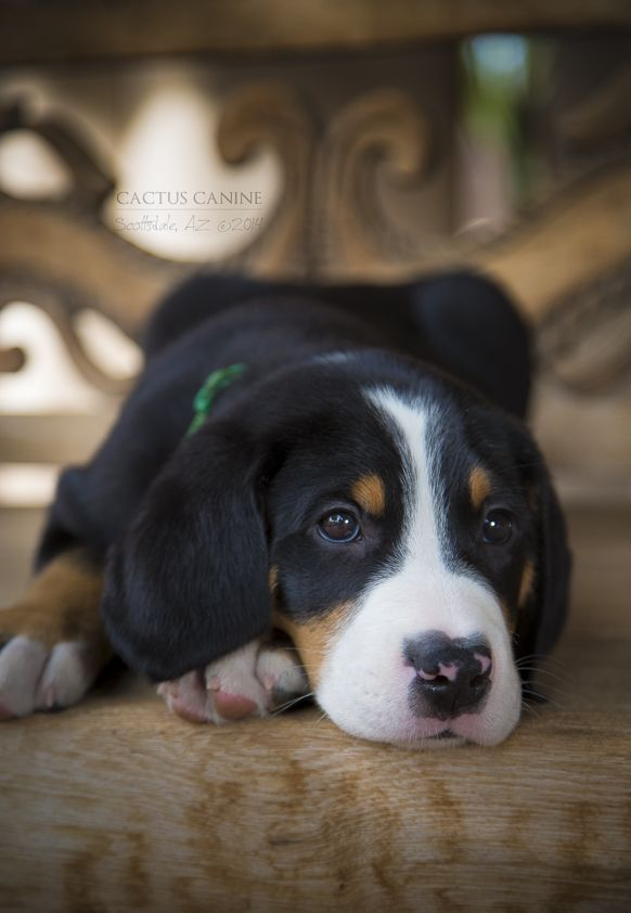 Greater Swiss Mountain Dog ~ puppy at seven weeks Cactus Canine ~ Phoenix Pet Photography