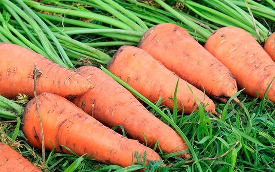 Морковь – очень вкусный и полезный корнеплод, выращиваемый многими садоводами. Вырастить эту культуру совсем не сложно, а вот добиться хорошей урожайности морковки удается далеко не каждому огородник…