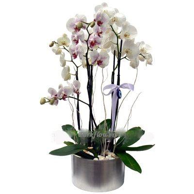 Metal vazoda 2 Adet ikili orkide h= 65 cm