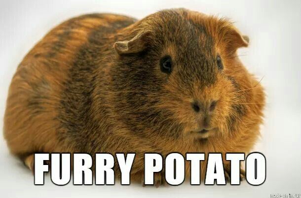 Furry Potato Guinea Pig