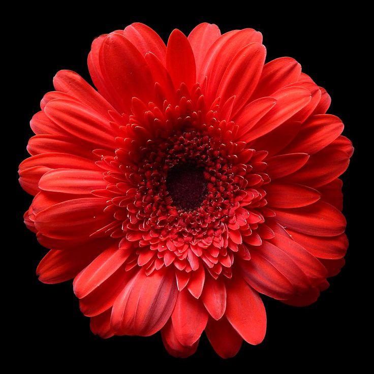 Red Gerbera Still Life Flower Art Poster Photograph