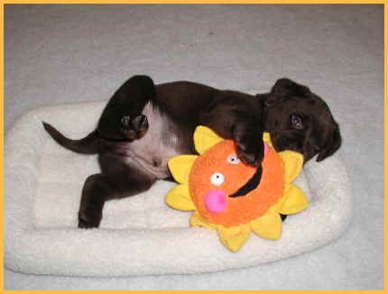 Welcome to Puddleduck Retrievers. Get a black, yellow or chocolate lab puppy. We specialize Labrador Retrievers puppies and training. Looking for a Labrador Retriever puppy? Lab Breeder in Maine.
