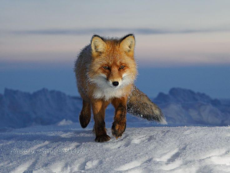 Trotting fox.