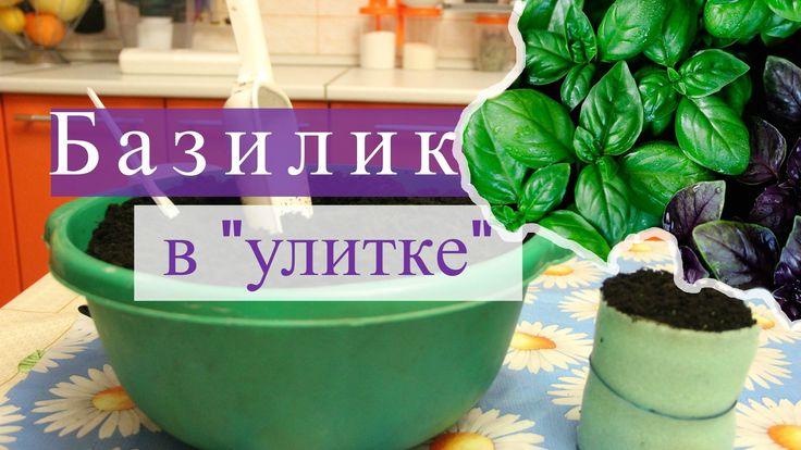 """Выращивание базилика из семян. Посадка базилика на рассаду в """"улитку"""" показал очень хороший результат. Базилик взошел быстро, росточки крепкие. Теперь необхо..."""