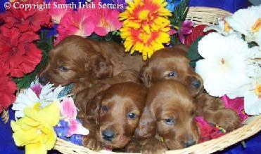 Irish Setter puppies for sale.