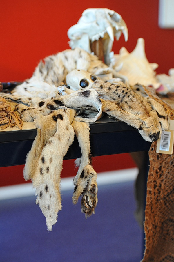 Confiscated at Amsterdam Schiphol Airport. Stop wildlife crime - just don't buy it!