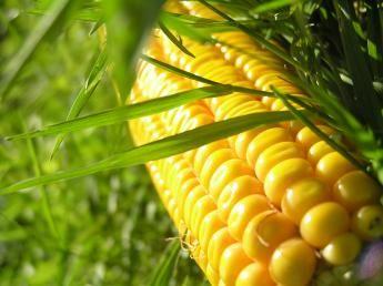 Voedsel- en Warenautoriteit is een traceringonderzoek gestart naar een partij maïs