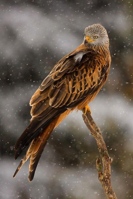 Red kite raptor bird in a southern Sweden blizzard