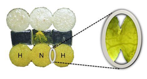 Physarum polycephalum expérimentés (ou habitués, H) qui fusionnent avec un congénère naïf (N). Le pseudopode qui traverse le pont provient du blob naïf. Au niveau de la zone de contact (zoom) on peut voir la formation d'une veine entre les blobs. © David Vogel