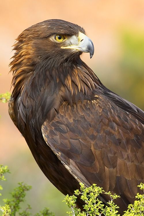 golden eagle (photo by grguy) Saw one of these while running the dogs today: