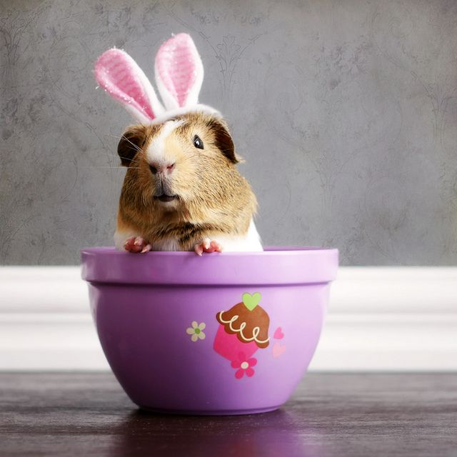 Easter+Guinea+Pig | Guinea Pigs - a gallery on Flickr