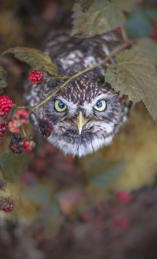 Birds of Prey - Intense Owl - title Brombär - by Tanja Brandt