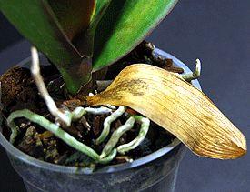 décoloration des feuilles d'orchidée
