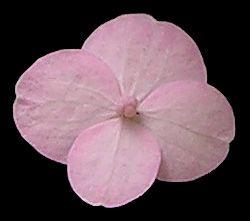 Hydrangea serrata 'Hokkaido' ray floret.