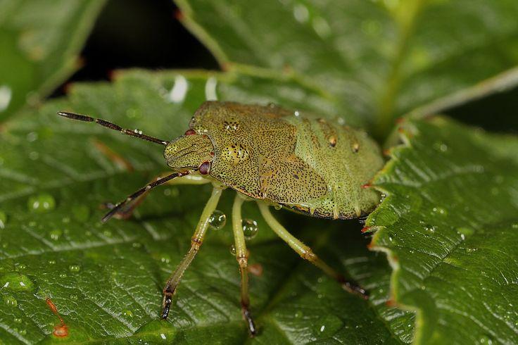 Green shield bug (Palomena prasima) by Azph