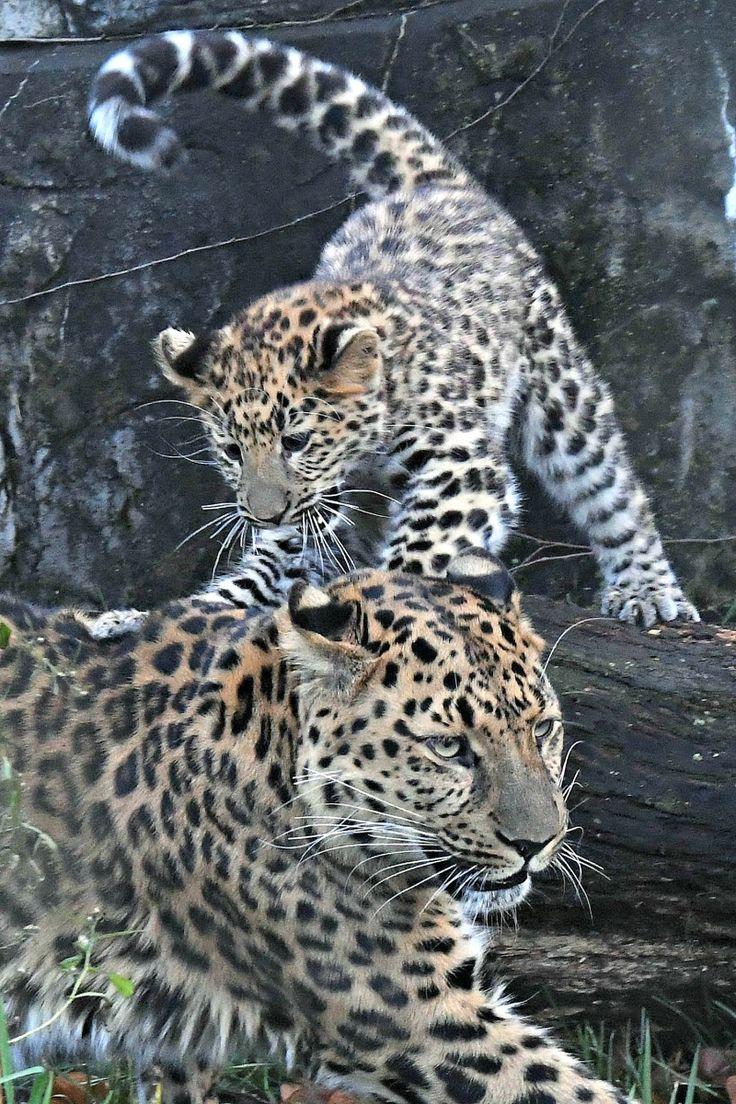 Amur Leopard Cub-3