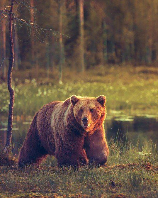 Картинки на телефон медведи в лесу
