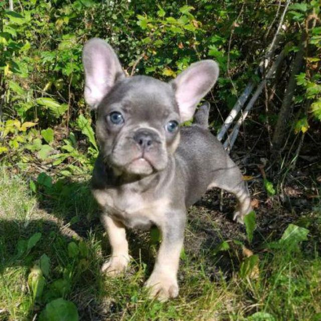 We Are Reputable Usda Licensed Breeders Of French Bulldogs With