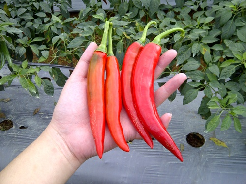 Chilli peppers...freshly picked by yours truly :) #Cirendeu #Sukabumi