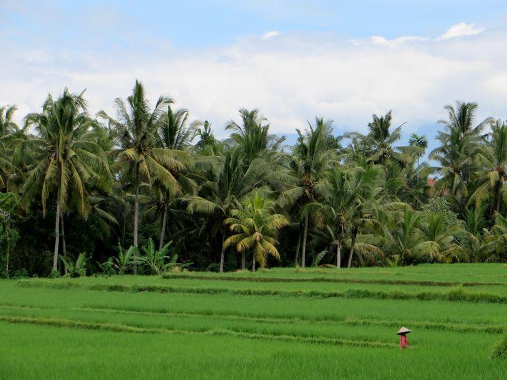 The rice fields of Ubud, Bali